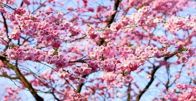 一心行の大桜の開花情報2017!開花時期や見頃はいつ?地震後のアクセスは?